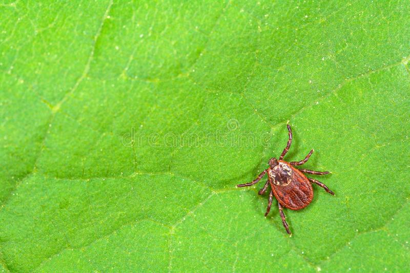 Mite sitting on a green leaf. Danger of tick bite. Parasite mite sitting on a green leaf. Danger of tick bite royalty free stock photography