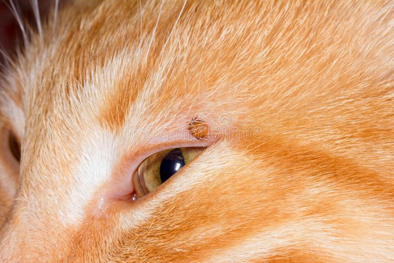 Mite stuck in the eyelid of a red cat. Mite bloodsucker stuck in the eyelid of a red cat stock image