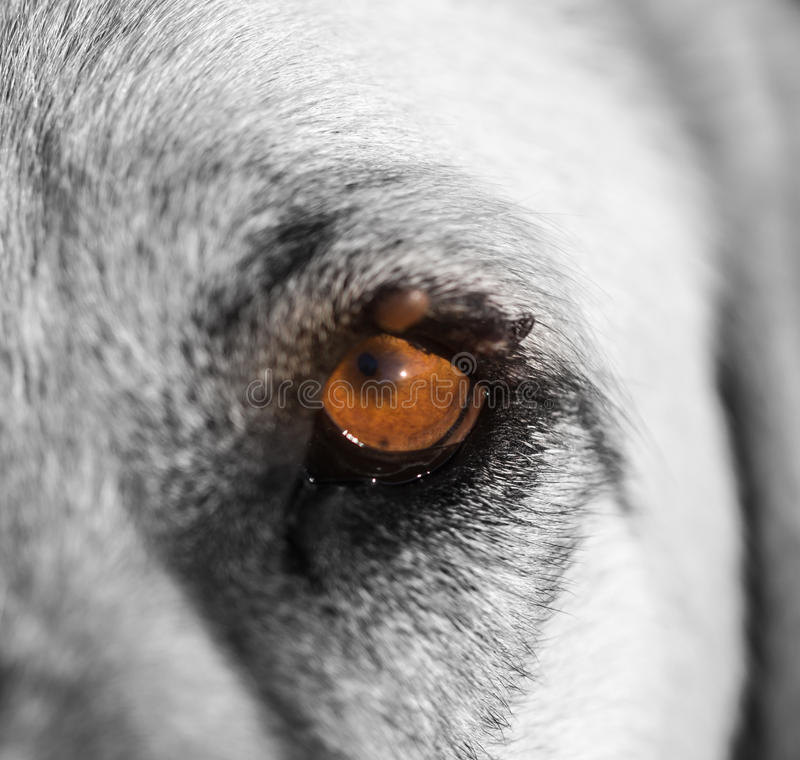 Mites on the eye of a dog. Macro royalty free stock image