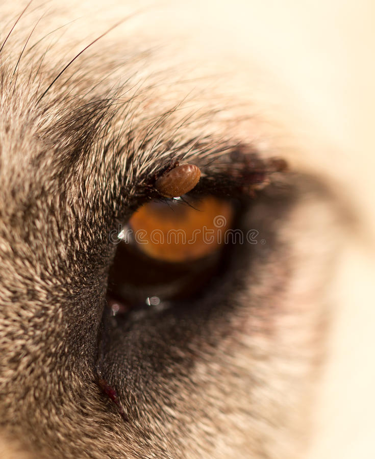 Mites on the eye of a dog. Macro royalty free stock photos