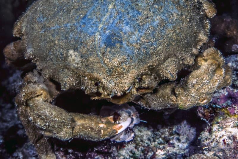 Mithraculus sculptus, grön klängande krabba, royaltyfria foton