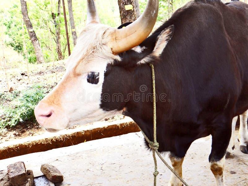 Mithun, elevato come animale da carne fra la gente tribale dell'India di nordest immagine stock