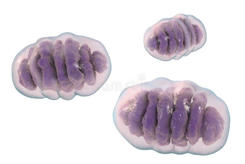 Mitochondrion cell- ogranelles som producerar energi royaltyfri illustrationer