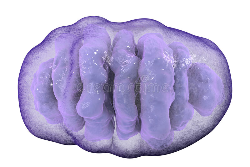 Mitocondrio, organelli cellulari che producono l'energia illustrazione di stock