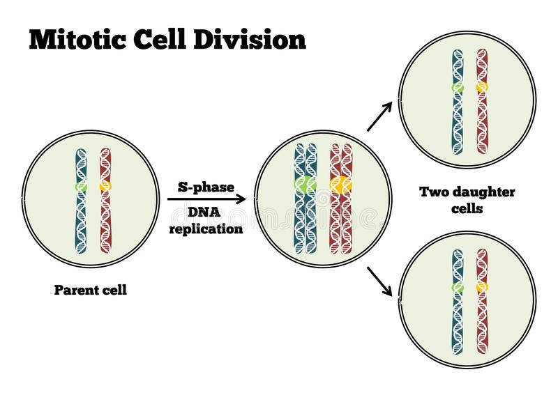 Mitotic Cell Division. Illustration of mitotic cell division with a close-up on chromosomes stock illustration