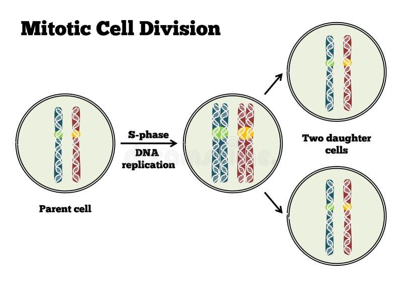 Mitotic celluppdelning stock illustrationer