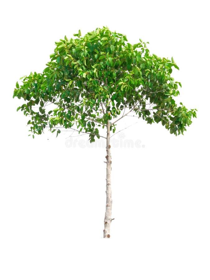 Mitragyna-speciosa Baum auf weißem Hintergrund stockbilder