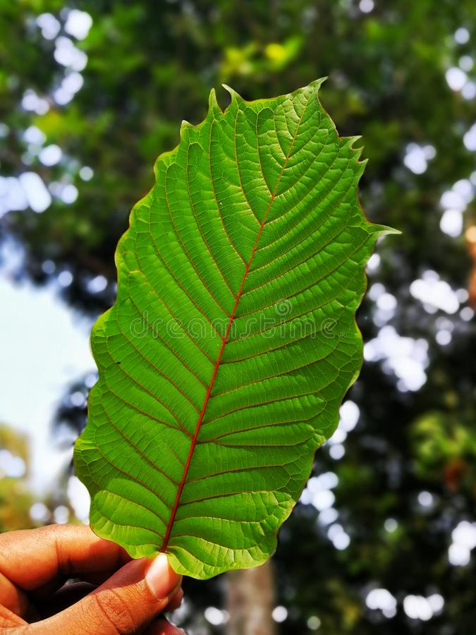 Mitragyna speciosa & x28;commonly known as kratom& x29; or Ketum is used as traditional medicine. stock images
