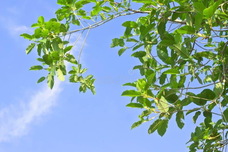 Mitragyna speciosa korth (krata) zdjęcie royalty free