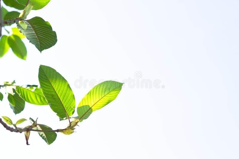 Mitragyna speciosa korth (krata) obraz stock