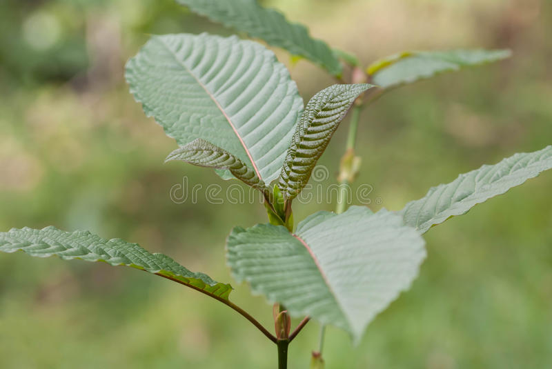 Mitragyna speciosa korth (kratom) a drug from plant stock photography