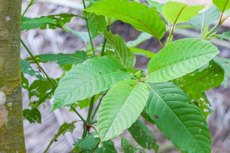 Mitragyna speciosa korth lek od rośliny (krata) zdjęcia royalty free