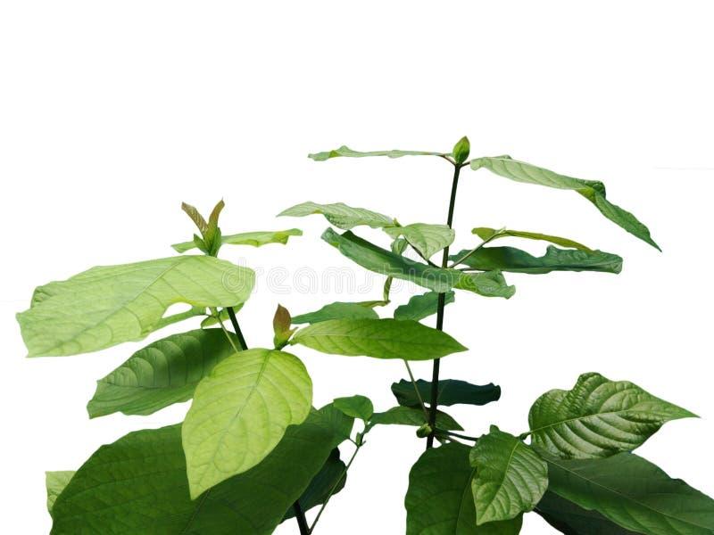 Mitragyna speciosa krata roślina zdjęcia stock