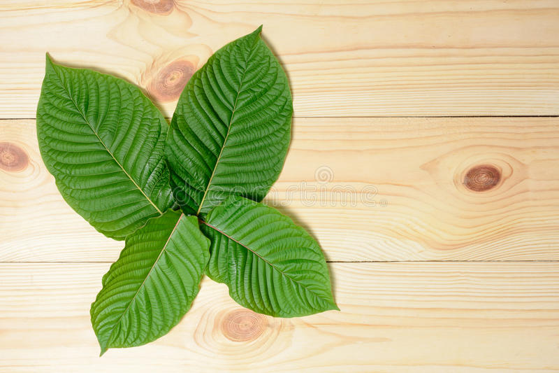 Mitragyna speciosa or Kratom leaves stock photo