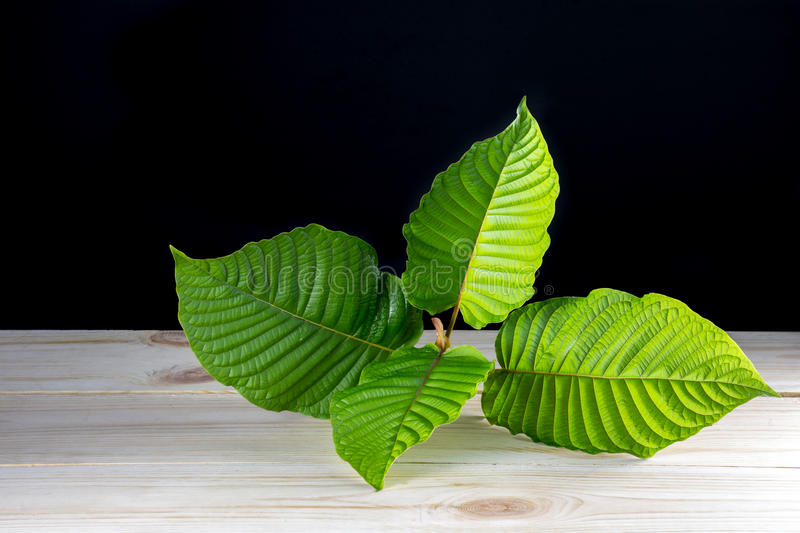Mitragyna speciosa or Kratom leaves stock photography