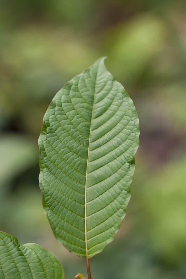 Mitragyna speciosakorth (kratom) en drog från växten royaltyfri bild