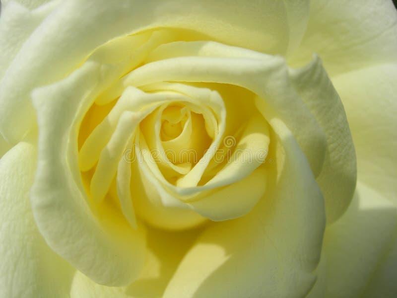 Mitt av en vit rosa blomma, skjuten närbild arkivbilder
