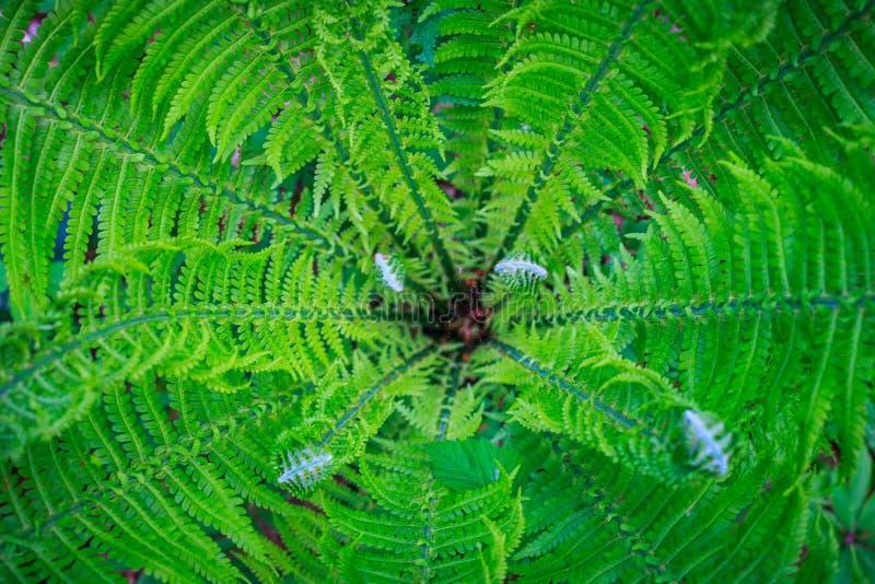 Mitt eller hjärta av den nya ormbunkebusken med unga lockiga ormbunksblad mot bakgrund field blåa oklarheter för grön vitt wispy  arkivbilder