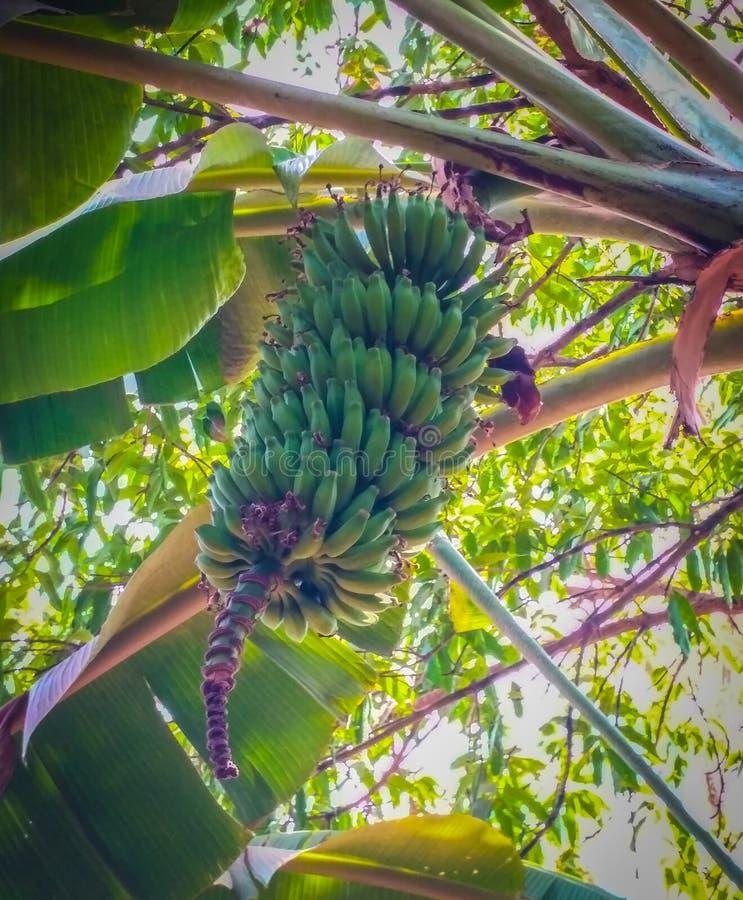 Mitt konkan träd för by för bananförälskelse arkivbild