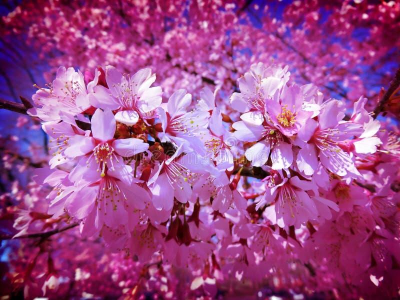 Mitt- marsblomningar för lavendel royaltyfria foton