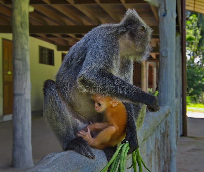 Mittagspause an den Affen stockbild