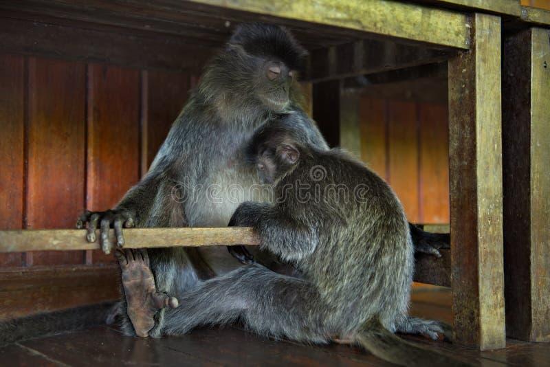 Mittagspause an den Affen lizenzfreie stockbilder