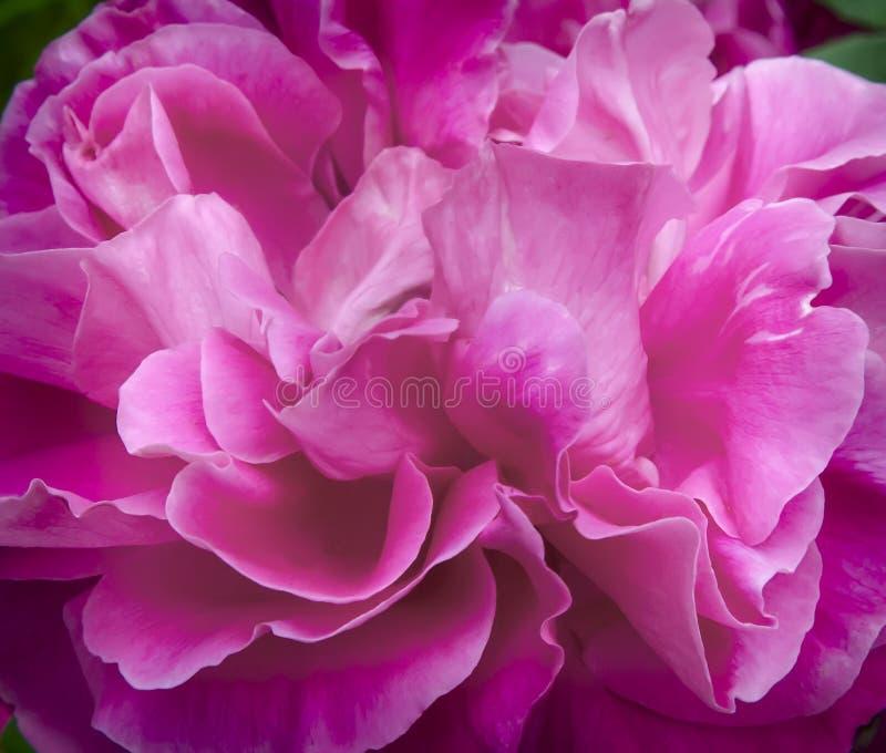 Mitte der Blume eine schöne rosafarbene Nahaufnahme stockbilder