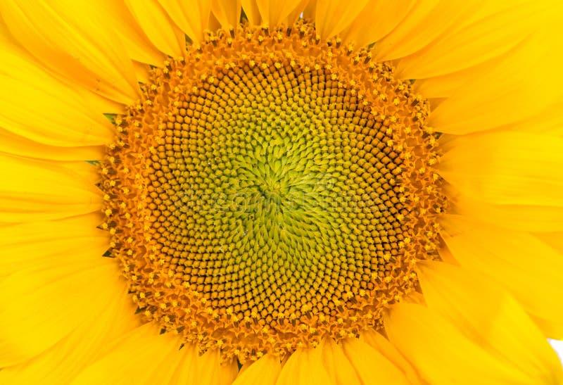 Mitte der Sonnenblume stockbilder