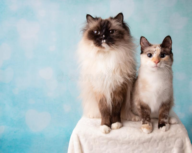 Mitted封印点Ragdoll和暹罗混合猫画象在演播室 免版税库存图片