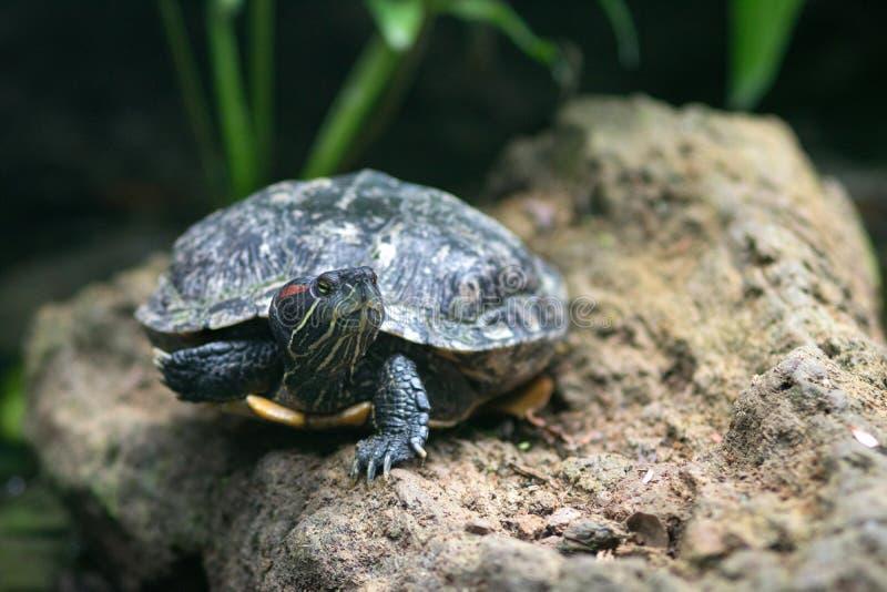Mittelländische Zierschildkröte Chrysemys picta marginata lizenzfreie stockfotos