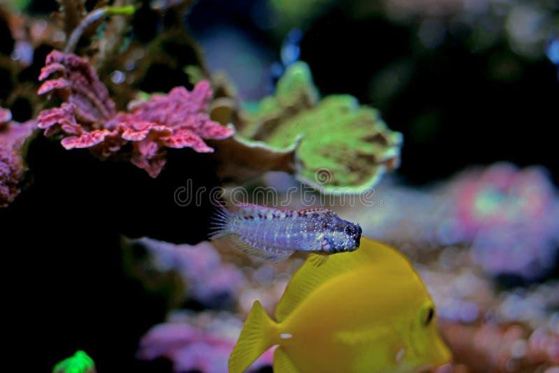 Mittelmeer-Tompot-Blennyfische - Parablennius-gattorugine lizenzfreie stockbilder