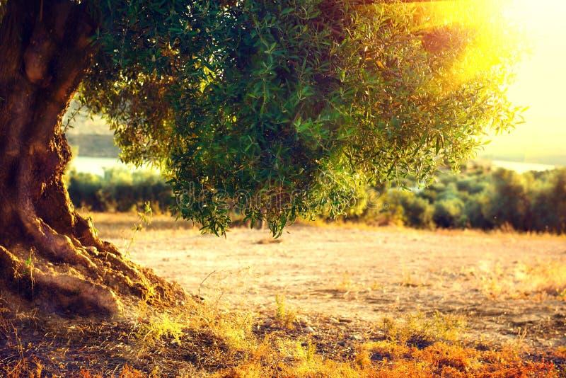 Mittelmeergarten, Nahaufnahme die Niederlassung Plantage von Olivenbäumen bei Sonnenuntergang stockbild