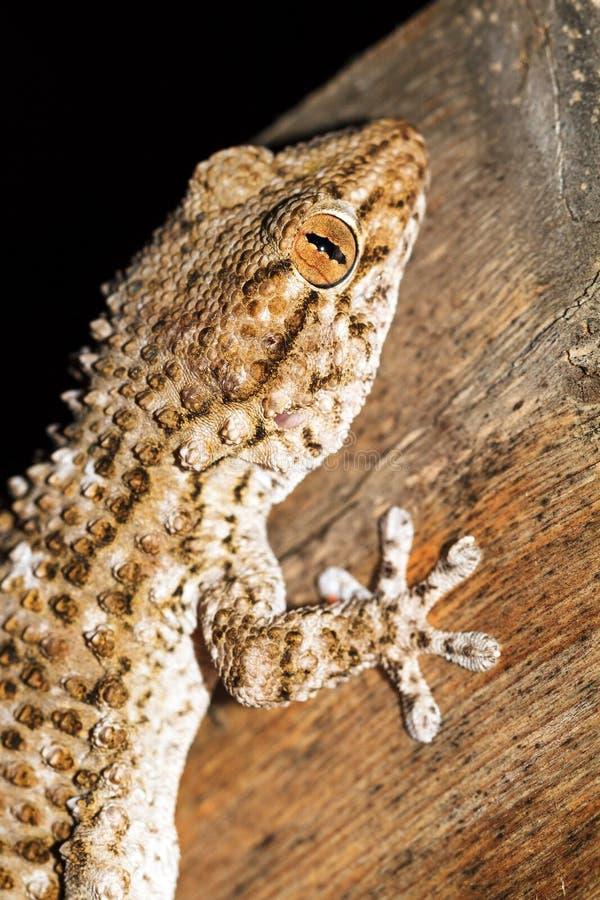 Mittelmeerhaus-Gecko stockbild