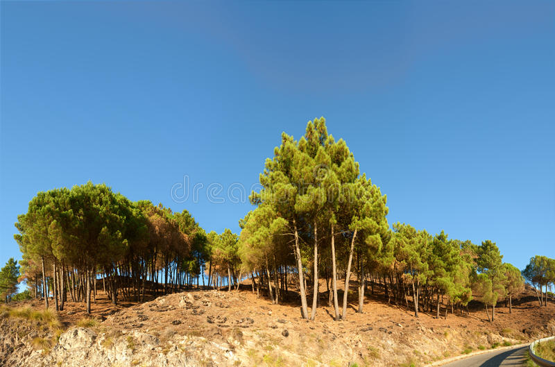 Mittelmeerkiefern auf kalabrischen Hügeln lizenzfreie stockfotografie