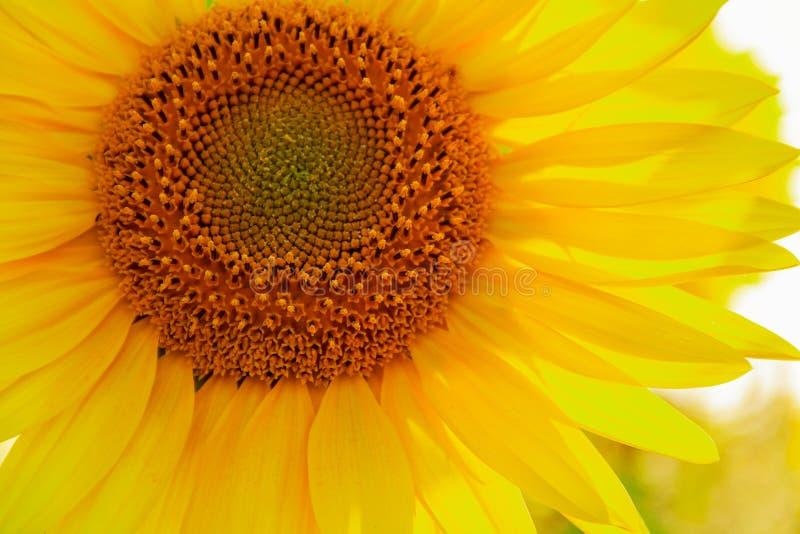 Mitten av solrosen med kronblad i solsken, slut upp arkivbild