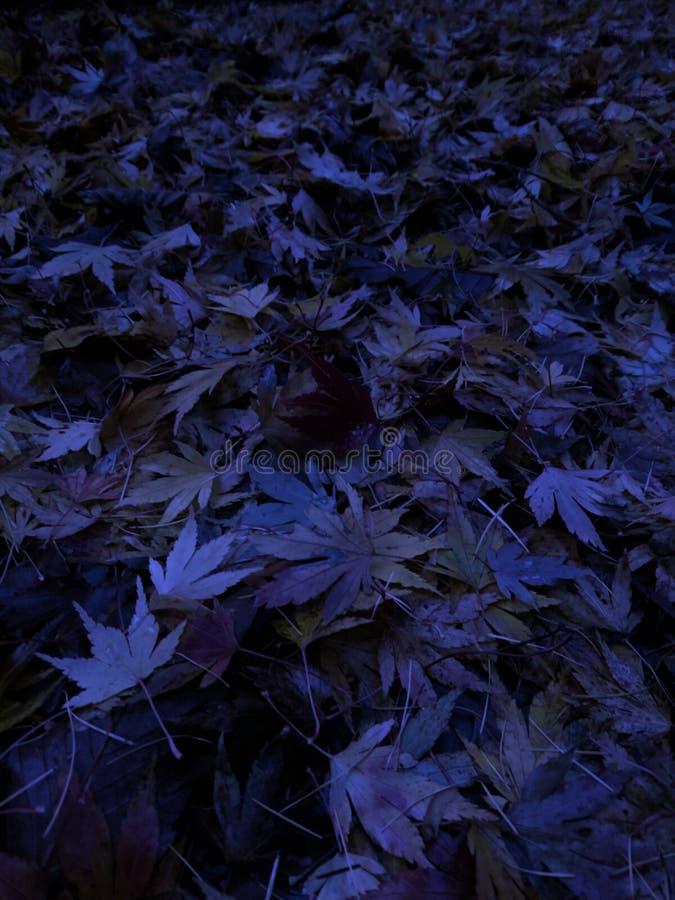 Mitternachts-Acer Autumn Leaves lizenzfreies stockbild