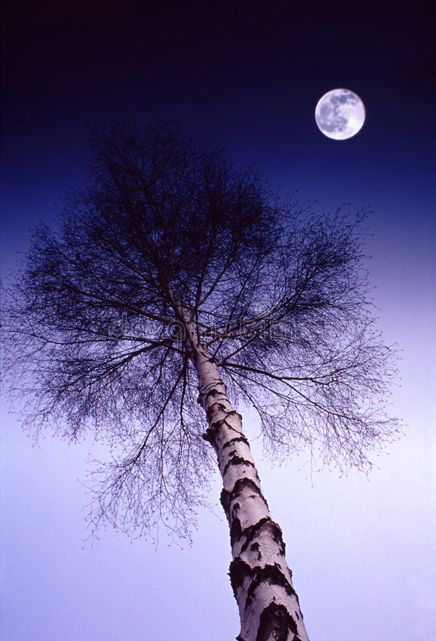 Mitternachtsbirke lizenzfreies stockfoto