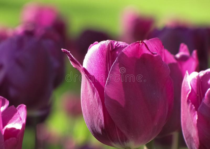 Mittlere purpurrote Tulpe im hellen Sonnenlicht stockbild