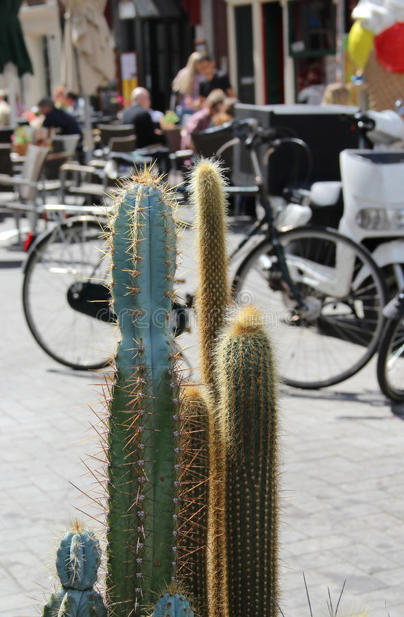 Mix of beautiful cactuses in Amsterdam. Mix of beautiful vivid bloomy cactuses on the streets of Amsterdam royalty free stock image