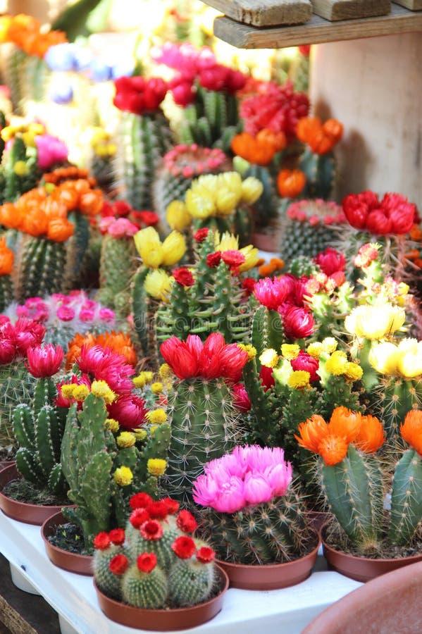 Mix of beautiful cactuses. Big mix of beautiful vivid bloomy cactuses royalty free stock photography