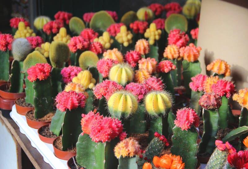 Mix of beautiful cactuses. Big mix of beautiful vivid bloomy cactuses stock image