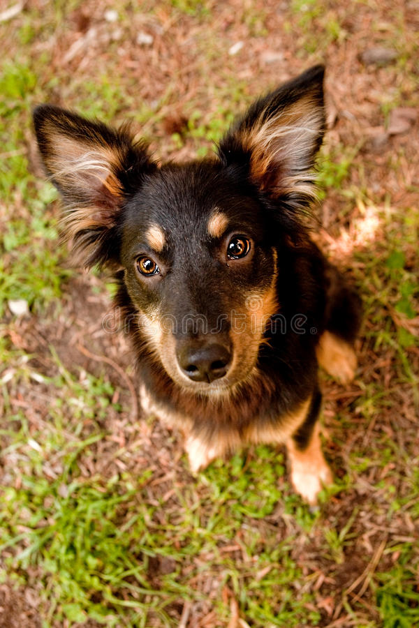 Download Mix breed collie stock photo. Image of hound, background - 24529128