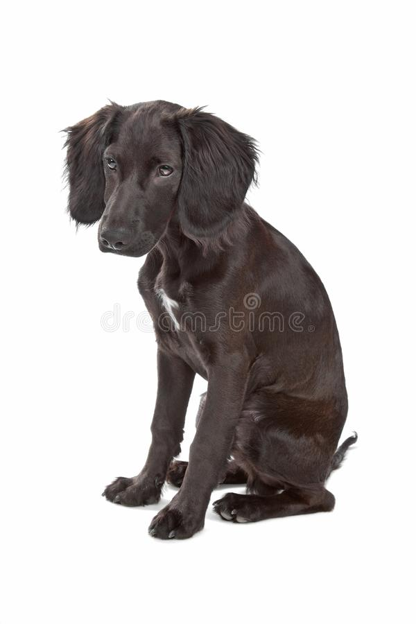 Mix breed dog cocker spaniel/flat coated spaniel. Isolated on a white background stock photography