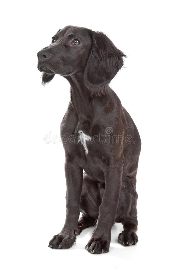 Mix breed dog cocker spaniel/flat coated spaniel. Isolated on a white background stock photos