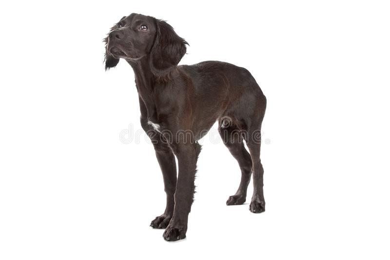 Mix breed dog cocker spaniel/flat coated spaniel. Isolated on white royalty free stock image