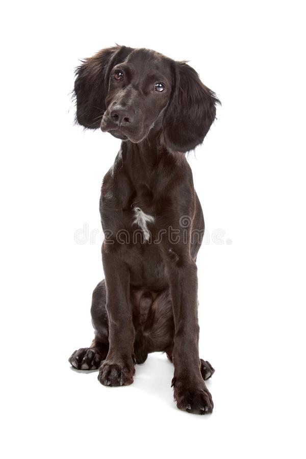 Mix breed dog cocker spaniel/flat coated spaniel. Isolated on a white background stock images