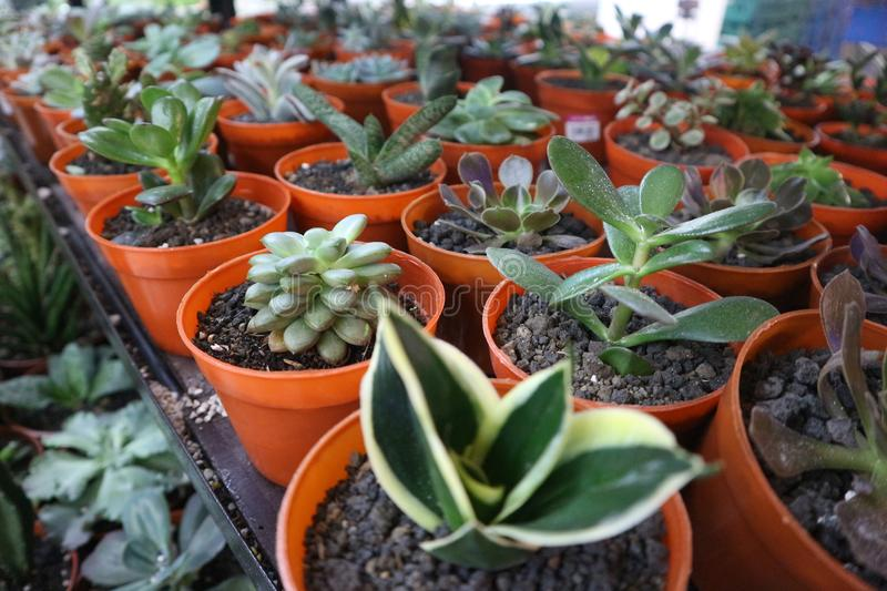 Mix of cactuses and other plants in the white pots stock images