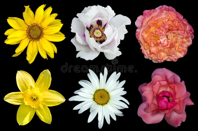 Mix collage of flowers: white peony, red and rose roses, yellow decorative sunflower, white daisy flower, day lilies isolated on stock image