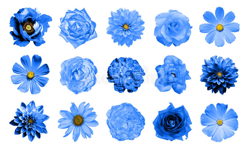 Mix collage of natural and surreal blue flowers 15 in 1: dahlias, primulas, perennial aster, daisy flower, roses, peony isolated royalty free stock photos
