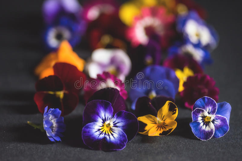 Mix of edible flowers. Colorful pansies and cineraria royalty free stock photography